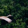 Grue du Canada adulte près de la tourbière d'Alfred le 3 juin 2012.  <br /> <br /> Peu commun, printemps-automne.  Très rare l'hiver.  Nicheur.<br /> <br /> <br /> An adult SANDHILL CRANE near the Alfred bog on 3 June 2012.  <br /> <br /> Uncommon, spring-fall.  Very rare in winter.  Breeds.