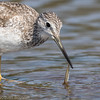 Grand Chevalier. Commun, printemps-automne _ Greater Yellowlegs.  Common, spring-fall.