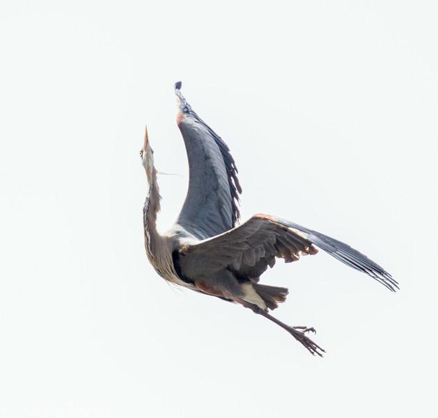 Grand Héron le 25 avril 2013 au Sanctuaire d'oiseaux de la Commission des parcs du St-Laurent à l'ouest de Ingleside ON.<br /> <br /> Commun, printemps-automne.  Rare l'hiver.  Nicheur.<br /> <br /> <br /> A Great Blue Heron on 25 April 2013 at the Upper Canada Bird Sanctuary west of Ingleside ON.<br /> <br /> Common, spring-fall.  Rare in winter.  Breeds.