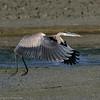 Grand Héron juvénile à Baie-du-Febvre QC le 29 septembre 2013.<br /> <br /> Commun, printemps-automne.  Rare l'hiver.  Nicheur.<br /> <br /> <br /> A juvenile Great Blue Heron at Baie-du-Febvre QC on 29 September 2013.<br /> <br /> Common, spring-fall.  Rare in winter.  Breeds.