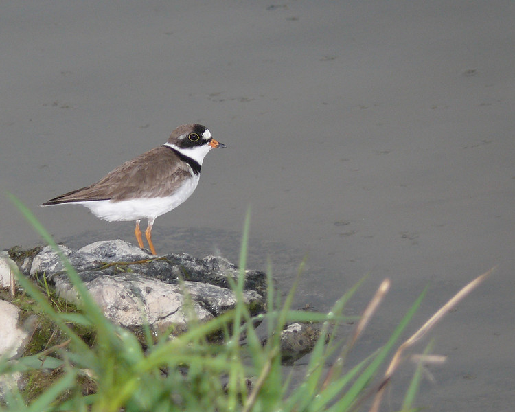 Pluvier semipalmé mâle adulte à une lagune locale le 29 mai 2009.  <br /> <br /> Commun, printemps-automne.<br /> <br /> <br /> An adult male SEMIPALMATED PLOVER at a local sewage lagoon on 29 May 2009.  <br /> <br /> Common, spring-fall.