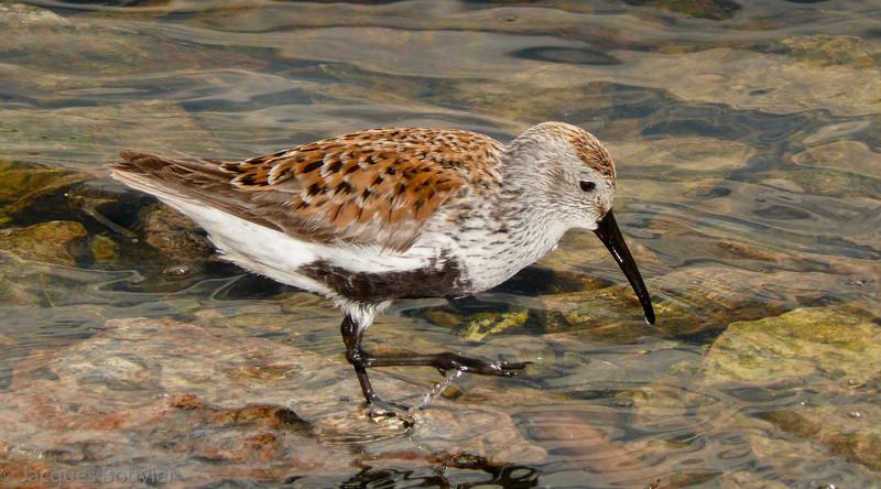 Bécasseau variable adulte à la lagune d'Embrun le 3 juin 2009.  <br /> <br /> Commun, printemps-automne.<br /> <br /> <br /> An adult DUNLIN at the Embrun sewage lagoons on 3 June 2009.  <br /> <br /> Common, spring-fall.