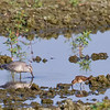Bécasseau maubèche juvénile à gauche du Bécasseau minuscule à la lagune de Casselman le 2 septembre 2011. <br /> Très rare, printemps et automne. <br /> <br /> <br /> A juvenile RED KNOT at left of Least Sandpiper at Casselman sewage lagoons on 2 September 2011.  <br /> <br /> Very rare, spring and fall.
