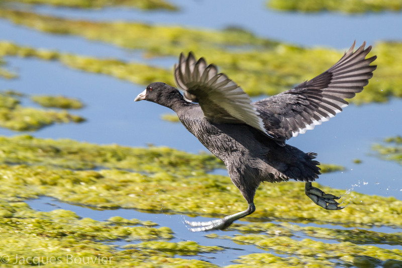 Foulque d'Amérique adulte à la lagune de Russell le 3 octobre 2013.<br /> <br /> Peu commun, printemps-automne; rare l'hiver.<br /> <br /> <br /> An adult American Coot at the Russell sewage lagoons on 3 Octber 2014.<br /> <br /> Uncommon, spring to fall; rare in winter.