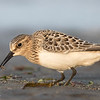Bécasseau de Baird.  Peu commun, automne; rare au printemps _ Baird's Sandpiper.  Uncommon, fall; rare in spring.