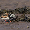 Tournepierre à collier. Peu commun, printemps et automne _ Ruddy Turnstone.  Uncommon, spring and fall.