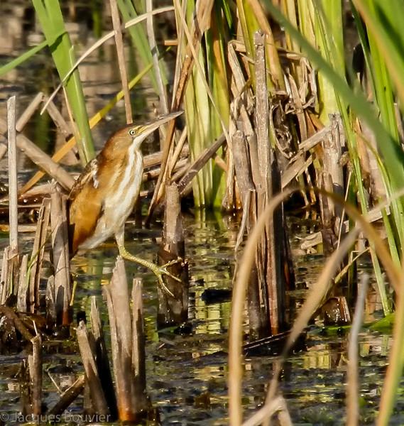 Petit Blongios, femelle adulte, notre plus petit héron, au marais sur Richmond Drive à Cornwall le 1 août 2011.  <br /> <br /> Rare, printemps-automne.  Nicheur.<br /> <br /> <br /> An adult female LEAST BITTERN, our smallest heron, at the Richmond Drive marsh in Cornwall on 1 August 2011.  <br /> Rare, spring-fall.  Breeds.