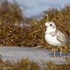 Pluvier siffleur adulte en plumage d'hiver au Bolivar Flats, Texas le 15 mars 2012.<br /> <br /> Extêmement rare.  <br /> <br /> Une mention le 23 mai 1992 à Thurso QC (ÉPOQ-Outaouais - Études des populations d'oiseaux du Québec).<br /> <br /> <br /> An adult PIPING PLOVER in winter plumage at Bolivar Flats, Texas on 15 March 2012.<br /> <br /> Extremely rare.<br /> <br /> One record on 23 May 1992 at Thurso QC (ÉPOQ).