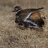 Pluvier kildir. Commun, printemps-automne.  Nicheur _ Killdeer.  Common, spring-fall.  Breeds.