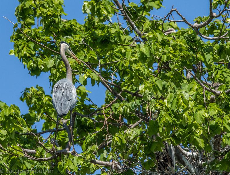 Grand Héron adulte avec branche, et son partenaire sur  le nid à l'Île Dodens (QC) près de Lancaster (ON) le 20 mai 2012. Merci à Jim LeBlanc pour l'occasion de visiter ce site.<br /> <br /> Commun, printemps-automne.  Rare l'hiver.  Nicheur.<br /> <br /> <br /> Adult GREAT BLUE HERON with branch, and its partner on the nest on Dodens Island (QC) near Lancaster (ON) on 20 May 2012.  Thanks to Jim LeBlanc for the opportunity to visit this site.<br /> <br /> Common, spring-fall.  Rare in winter.  Breeds.