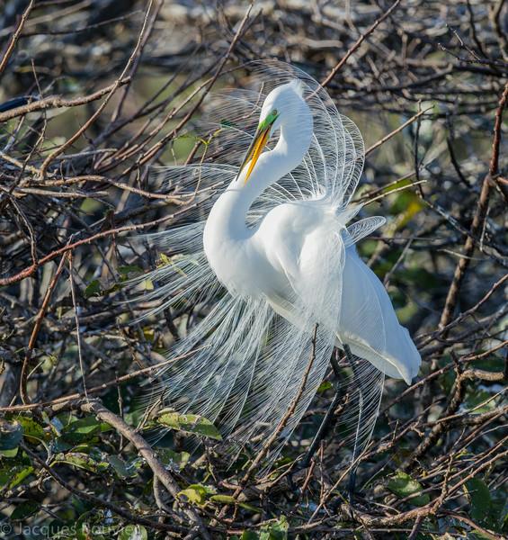 Grande aigrette photographiée en Floride le 10 février 2014. <br /> <br /> Commun, printemps-automne.<br /> <br /> A Great Egret photographed in Florida on 10 February 2014.  <br /> <br /> Common, spring-fall.