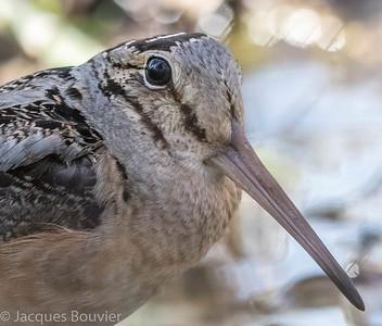 Bécasse d'Amérique.  Commun, printemps-automne.  Nicheur _  American Woodcock.   Common, spring-fall.  Breeds.