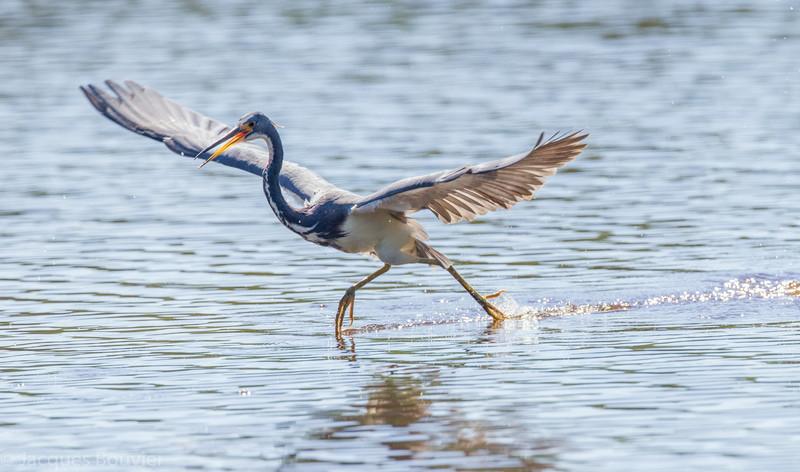 Aigrette tricolore dans les Everglades en Floride le 14 février 2014 volant juste au-dessus de la surface d'eau profonde à la recherche de poissons.<br /> <br /> Extrêmement rare au printemps.<br /> <br /> ÉPOQ-Outaouais signale au moins un individu le 21 avril 1996 à Plaisance QC.  Plusieurs personnes ont observé un individu (le même?) à Cooper Marsh près de South Lancaster du 11 au 31 mai 1996<br /> <br /> <br /> A Tricolored Heron in the Florida Eveglades on 14 February 2014 is flying low over deep water in search of fish.<br /> <br /> Extremely rare in spring.<br /> <br /> At least one bird was seen in Plaisance QC on 21 April 1996, and another or same individual (?) was observed by many birders at Cooper Marsh near South Lancaster from 11 to 31 May 1996.