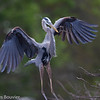 Grand Héron.  Commun, printemps-automne.  Rare l'hiver.  Nicheur _ Great Blue Heron.  Common, spring-fall.  Rare in winter.  Breeds.