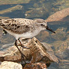 Bécasseau semipalmé adulte en plumage nuptial à la lagune d'Embrun le 3 juin 2009. <br /> <br /> Commun, printemps-automne.<br /> <br /> <br /> A breeding-plumaged adult SEMIPALMATED SANDPIPER at the Embrun sewage lagoons on 3 June 2009.  <br /> <br /> Common, spring-fall.