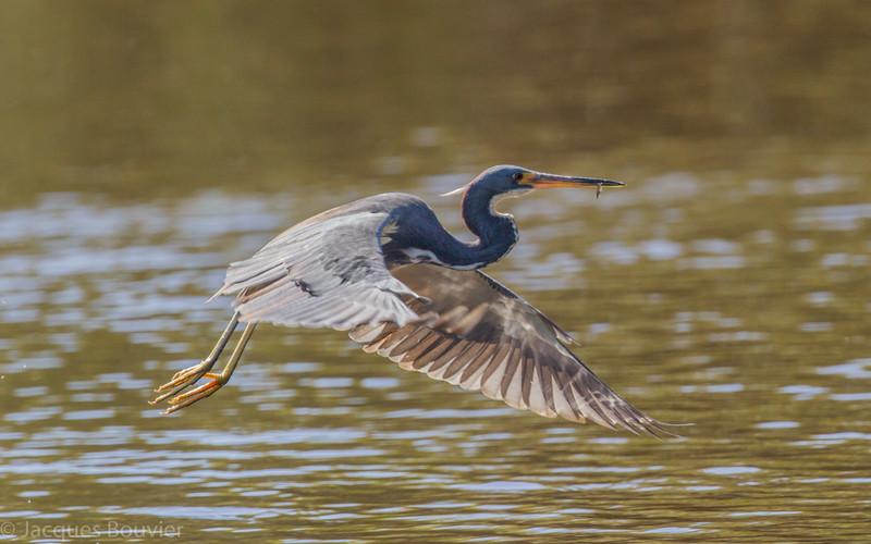 Aigrette tricolore dans les Everglades en Floride le 14 février 2014.  Celle-ci vient de capturer un poisson dans l'eau creuse.<br /> <br /> Extrêmement rare au printemps.<br /> <br /> <br /> A Tricolored Heron in the Florida Eveglades on 14 February 2014.  It is flying away after capturing a fish in deep water.<br /> <br /> Extremely rare in spring.