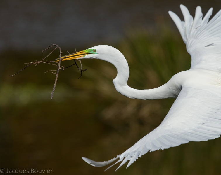 Grande aigrette photographiée en Floride le 10 février 2014 avec branches pour son nid. <br /> <br /> Commun, printemps-automne.<br /> <br /> A Great Egret photographed in Florida on 10 February 2014 as it carried twigs to its nest.  <br /> <br /> Common, spring-fall.