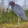 Aigrette bleue adulte en plumage internuptial en Floride le 12 février 2014.<br /> <br /> Notez son bec bleuâtre et sa livrée sombre.<br /> <br /> Très rare à l'automne.<br /> <br /> <br /> An adult Little Blue Heron in nonbreeding in Florida on 12 February 2014.<br /> <br /> Note bluish bill and all-dark plumage.<br /> <br /> Very rare in fall.
