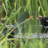 Gallinule commune.  Peu commun, printemps-automne. Nicheur _  Common Gallinule.  Uncommon, spring to fall.  Breeds.