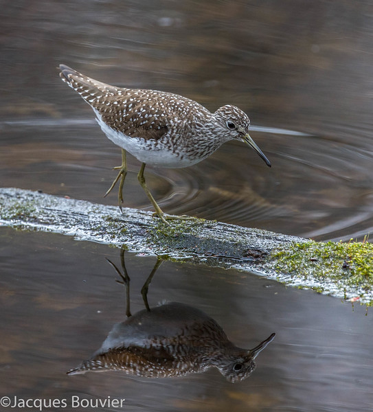 Chevalier solitaire adulte au parc national Pointe Pelée le 7 mai 2014.<br />   <br /> Peu commun, du printemps à l'automne.<br /> <br /> <br /> An adult Solitary Sandpiper at Point Pelee National Park on 7 May 2014.  <br /> <br /> Uncommon, spring to fall.