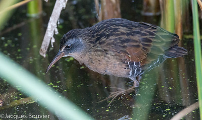 Râle de Virginie.  Commun, printemps-automne.  Nicheur _ Virginia Rail.  Common, spring-fall.  Breeds.