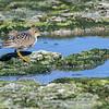 Bécasseau roussâtre - Très rare à l'automne  Buff-breasted Sandpiper - Very rare in fall