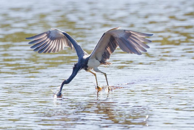 Aigrette tricolore dans les Everglades en Floride le 14 février 2014.  Celle-ci, en volant sur place,  plonge sa tête sous l'eau afin de capturer un poisson.<br /> <br /> Extrêmement rare au printemps.<br /> <br /> <br /> A Tricolored Heron in the Florida Eveglades on 14 February 2014. While hovering, It has plunged its head underwater in an attempt to capture a fish.<br /> <br /> Extremely rare in spring.