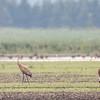 Grue du Canada.  Peu commun, printemps-automne; rare l'hiver. Nicheur _ Sandhill Crane.  Uncommon, spring-fall;  rare in winter.  Breeds.