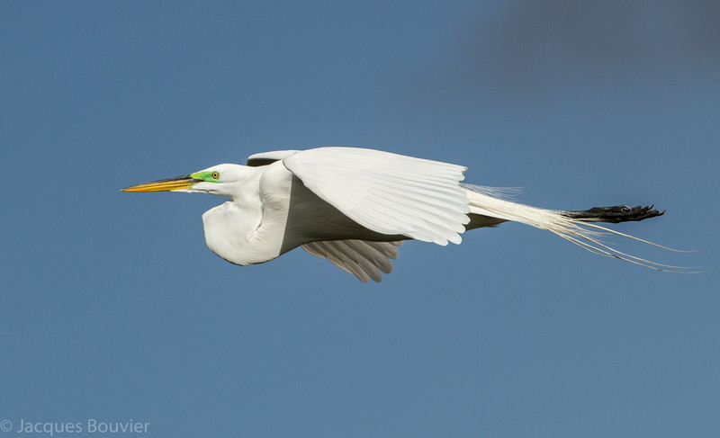 Grande aigrette photographiée en Floride le 10 février 2014. <br /> <br /> Commun, printemps-automne.<br /> <br /> A Great Egret photographed in Florida on 10 February 2014.  <br /> <br /> Common, spring-fall.