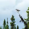 Chevalier solitaire adulte photographié dans une tourbière (aire de nidification) au Labrador juste à l'est de Schefferville QC le 29 juin 2012. <br /> <br /> Peu commun, printemps-automne.<br /> <br /> An adult Solitary Sandpiper photographed on its breeding grounds (a bog) in Labrador just east of Schefferville QC on 29 June 2012. <br /> <br /> Uncommon, spring-fall.