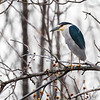 Bihoreau gris.  Peu commun, printemps-automne.  Nicheur _  Black-crowned Night-Heron.  Uncommon, spring-fall.  Breeds.