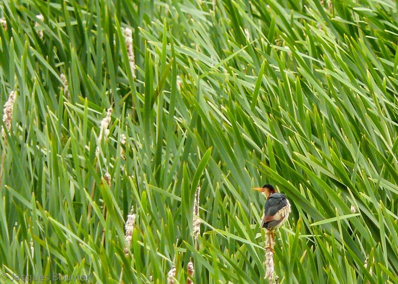 Petit Blongios, mâle adulte, notre plus petit héron, a été photographié le 20 juin 2009 dans le marais situé au nord du km 29 du sentier récréatif P/R.  <br /> <br /> Rare, printemps-automne. Nicheur.<br /> <br /> <br /> An adult male LEAST BITTERN, our smallest heron, photographed on 20 June 2009 at the marsh along km 29 of the P/R recreational trail.  <br /> <br /> Rare, spring-fall.  Breeds.
