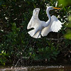 Grande aigrette photographiée en Floride le 14 février 2014. <br /> <br /> Commun, printemps-automne.<br /> <br /> A Great Egret photographed in Florida on 14 February 2014.  <br /> <br /> Common, spring-fall.