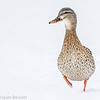 Canard colvert femelle à Ottawa le 24 mars 2013.  Seulement la femelle a le bec orangé taché de noir. <br /> <br /> Commun, printemps-automne; peu commun l'hiver. Nicheur.<br /> <br /> <br /> A female Mallard in Ottawa on 24 March 2013. Only the female has an orange bill marked with black. <br /> <br /> Common, spring-fall; uncommon in winter. Breeds.