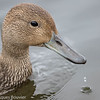 Canard pilet.  Commun, printemps-automne.  Rare l'hiver.  Nicheur _  Northern Pintail. Common, spring-fall. Rare in winter.  Breeds.