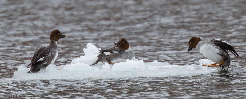 Garrot à oeil d'or (2 femelles 1er hiver à gauche, l'autre femelle adulte) au parc Stratacona à Ottawa le 24 mars 2013. <br /> <br /> Commun, printemps, automne et hiver. Rare l'été. Nicheur.<br /> <br /> <br /> Two 1st winter female Common Goldeneyes at left, other is an adult female.  Found at Stratacona Park in Ottawa on 24 March 2013. <br /> <br /> Common, spring, fall and winter. Rare in summer. Breeds.