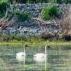 Cygne trompette, 2, avec plumage de 1er hiver usé à la lagune de St-Isidore, le 28 mai 2011.  Le plumage du jeune est brun grisâtre jusqu'au 1er été (octobre à juillet).<br /> <br /> Rare, printemps-été.<br /> <br /> <br /> Trumpeter Swans with fading 1st winter plumage at the St-Isidore sewage lagoons on 28 May 2011.  Immatures retain grey-brown plumage into first summer (October to July).<br /> <br /> Rare, spring-summer.