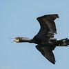 Cormoran à aigrettes.  Commun, printemps-automne. Rare l'hiver. Nicheur _  Double-crested Cormorant. Common, spring-fall. Rare in winter. Breeds.