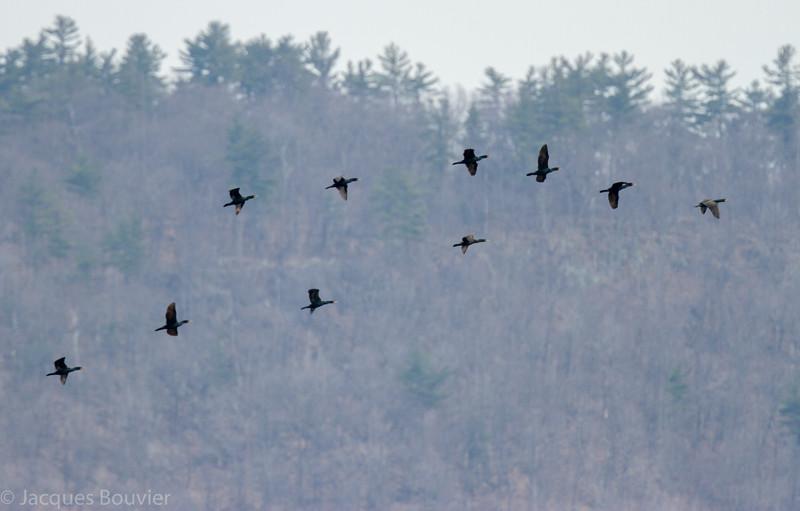 Cormoran à aigrettes (adultes) le long de la rivière des Outaouais près de Grenville le 19 avril 2013. Les adultes ont le dessous noir.<br /> <br /> Commun, printemps-automne. Rare l'hiver. Nicheur.<br /> <br /> Double-crested Cormorants (adults) along the Ottawa River near Grenville QC on 19 April 2013. Adults are black underneath. <br /> <br /> Common, spring-fall. rare in winter. Breeds.