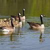 Bernache du Canada, deux familles, au parc Andrew Haydon à Ottawa le 31 mai 2014. <br /> <br /> Commun, printemps-automne. Peu commun, hiver. Nicheur.<br /> <br /> Canada Goose, two families, at Andrew Haydon  in Ottawa on 31 May 2014. <br /> <br /> Common, spring-fall. Uncommon, winter. Breeds