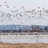 Oie des neiges  Commun, printemps et automne. Rare l'hiver et l'été _ Snow Goose.  Common, spring and fall. Rare in winter and summer.