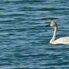 Cygne trompette avec son plumage de 1er hiver usé, à la lagune d'Embrun le 8 mai 2009.  Le plumage du jeune est brun grisâtre jusqu'au 1er été (octobre à juillet). Certains Cygnes siffleurs sont blancs (1er été) dès décembre, tous à compter d'avril.<br /> <br /> Rare, printemps-été.<br /> <br /> <br /> A Trumpeter Swan with its fading 1st winter plumage at the Embrun sewage lagoons on 8 May 2009.  Immatures retain grey-brown plumage into first summer (October to July).  Tundra becomes white by mid-winter, all by April.<br /> <br /> Rare, spring-summer.