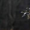 Canard d'Amérique mâles (3 à droite en haut) et femelles à Ault Island le 15 novembre 2013.<br /> <br /> Commun, printemps-automne. Rare l'hiver.  Nicheur.<br /> <br /> Male (3 above at right) and female American Wigeons at Ault Island on 15 November 2013.<br /> <br /> Common, spring-fall. Rare in winter.  Breeds.