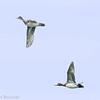 Canard siffleur. Rare, printemps et automne _  Eurasian Wigeon. Rare, spring and fall.