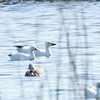 Oie de Ross adulte (l'oie la plus à gauche) avec des Oies des neiges à la lagune d'Alfred le 6 mai 2013.<br /> <br /> Rare au printemps et à l'automne; très rare l'hiver.<br /> <br /> An adult Ross's Goose (furthest bird at left) with Snow Geese at the Alfred sewage lagoons on 6 May 2013.<br /> <br /> Rare in spring and fall; very rare in winter.