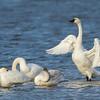 Cygne siffleur, 3 adultes et un juvénile (le plus foncé) vus du pont-jetée du chemin Ault Island le 15 novembre 2013. Chez l'adulte le jaune devant l'oeil est de grosseur variable, et absent  chez certains individus.<br /> <br /> Rare, printemps, automne. Très rare l'hiver.<br /> <br /> <br /> Three adult and one juvenile (the darkest one) Tundra Swan off the Ault Island road causeway on 15 November 2013.  Adult has a yellow lore spot which is variable in size and absent on some.<br /> <br /> Rare, spring, fall. Very rare in winter.