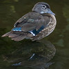 Canard branchu.  Commun, printemps-automne. Rare l'hiver.  Nicheur _  Wood Duck.  Common, spring-fall. Rare in winter.  Breeds.