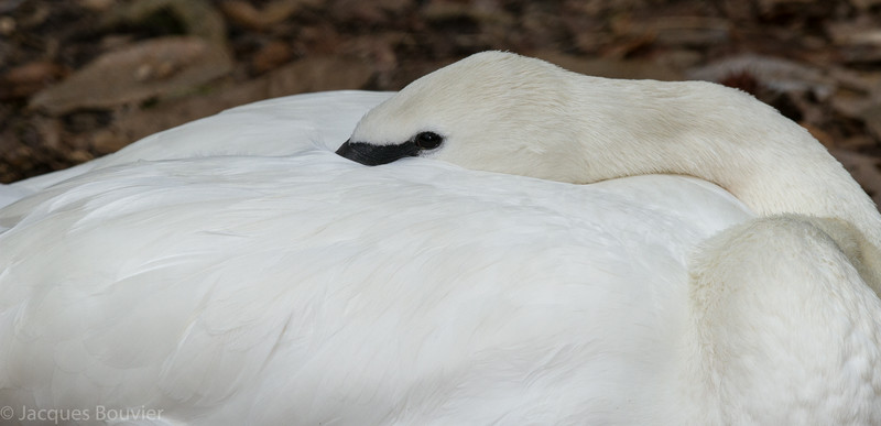Cygne trompette adulte photographié lorsqu'en captivité à Sylvan Heights, Caroline du Nord le 22 février 2014.  Il a rarement un point jaune devant l'oeil.<br /> <br /> Rare, printemps-été.<br /> <br /> <br /> An adult Trumpeter Swan in captivity at Sylvan Heights N. C. on 22 February 2014. Rarely has yellow in front of eye.<br /> <br /> Rare, spring-summer.
