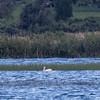 Pélican d'Amérique. Très rare, l'été et l'automne _   White Pelican. Very rare, summer and fall.