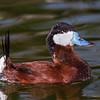 Érismature rousse, mâle adulte photographiée lorsqu'en captivité à Sylvan Heights, Caroline du Nord le 22 février 2014.<br /> <br /> Peu commun, printemps-automne; très rare l'hiver. Nicheur.<br /> <br /> <br /> Adult male Ruddy Duck in captivity at Sylvan Heights in North Carolina on 4 February 2014.<br /> <br /> Uncommon, spring-fall; very rare in winter.